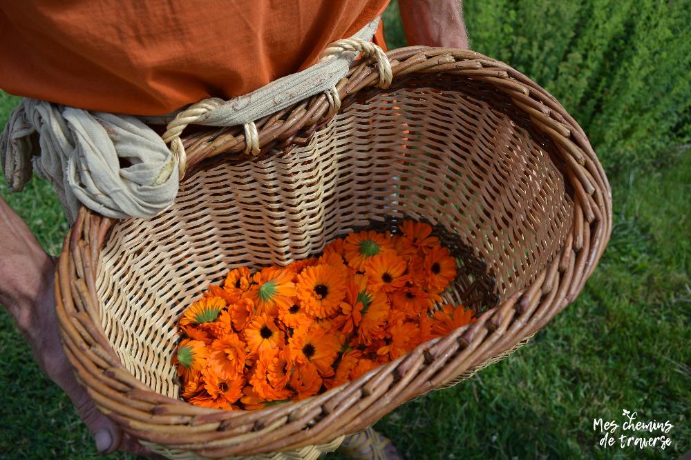 récolte de calendula, herbes vagabondes, Trégor